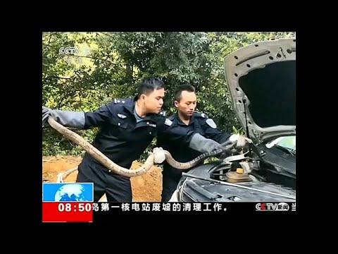 شاهد العثور على كوبرا بطول 27 متر داخل محرك سيارة
