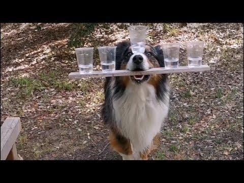 شاهد كلب استرالي يرقص بالأكواب ويؤدي حركات بهلوانية