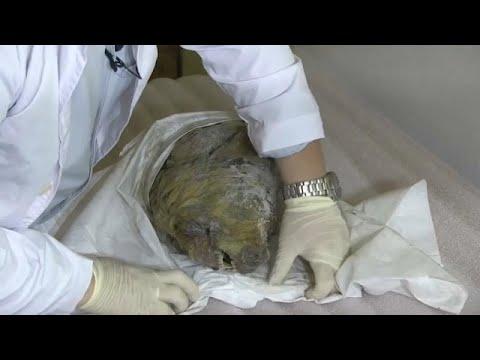 ثلوج سيبيريا تحفظ رأس ذئب منقرض لأربعين ألف سنة